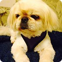 Adopt A Pet :: Piglet - Chantilly, VA