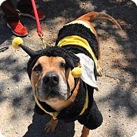 Adopt A Pet :: Vespa - Briarcliff Manor, NY