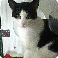 Adopt A Pet :: Buttons - Caistor Centre, ON