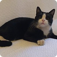Domestic Shorthair Cat for adoption in New York, New York - Oliver