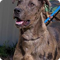 Adopt A Pet :: Wiley Coyote - Locust Fork, AL