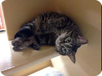 Domestic Shorthair Cat for adoption in Marion, North Carolina - Lil' Bit