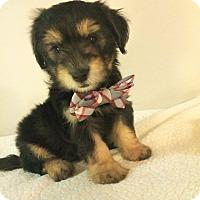 Adopt A Pet :: Danny Zuko-Bryanna Pup - Encino, CA