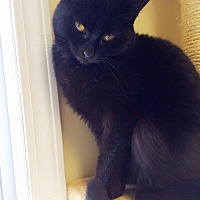 Domestic Mediumhair Cat for adoption in Huguenot, New York - Belle