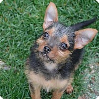 Adopt A Pet :: Yp litter - Maverick - Livonia, MI