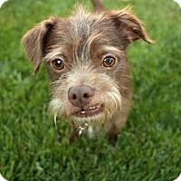 Adopt A Pet :: Marv Our Tripod - Los Angeles, CA