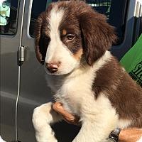 Adopt A Pet :: Dusty - Hohenwald, TN
