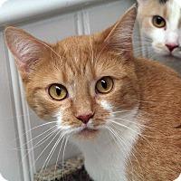 Domestic Shorthair Cat for adoption in St. Louis, Missouri - Eartha Kitty