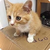 Domestic Shorthair Kitten for adoption in Harrisburg, Pennsylvania - Charlene (baby girl)