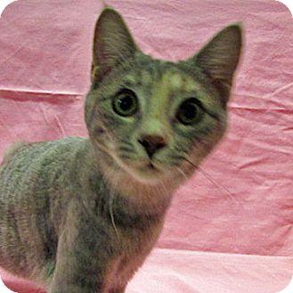 British Shorthair Cat for adoption in Fayetteville, Tennessee - 16-c06-002 Margot