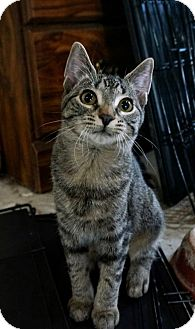 Domestic Shorthair Kitten for adoption in Manitowoc, Wisconsin - Lealah