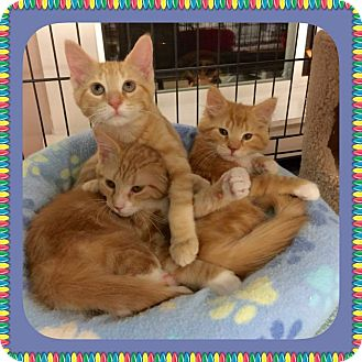 Domestic Longhair Kitten for adoption in Atco, New Jersey - Olivia