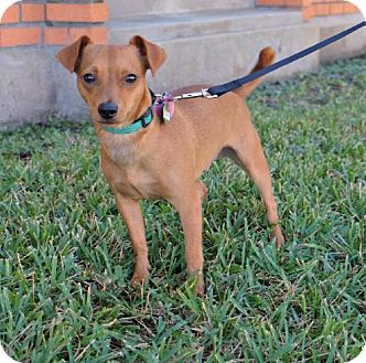 Dachshund/Chihuahua Mix Dog for adoption in Indianapolis, Indiana - Gideon