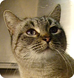 Domestic Shorthair Cat for adoption in El Cajon, California - Alexa