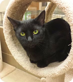 Domestic Shorthair Cat for adoption in Wickenburg, Arizona - Miss Cooper