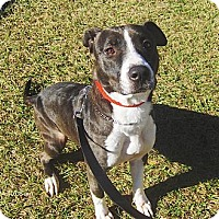 Adopt A Pet :: Layla - Orange Park, FL