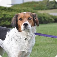 Adopt A Pet :: Clair - Tumwater, WA