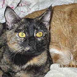 Photo 3 - British Shorthair Cat for adoption in Los Angeles, California - Lorna