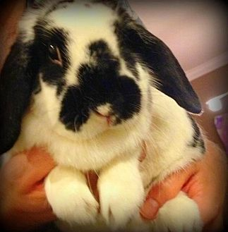 Lop, Holland Mix for adoption in Los Angeles, California - Pepe