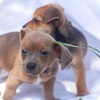Adopt A Pet :: Jack - Loomis, CA