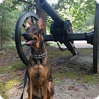Adopt A Pet :: Maya(CL) - Greensboro, NC