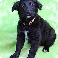 Adopt A Pet :: GABE - Westminster, CO