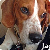 Adopt A Pet :: Jack - Friendky, Lovable Hound - North Creek, NY