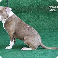 Adopt A Pet :: *PEACHES - Hanford, CA