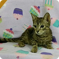 Domestic Shorthair Cat for adoption in Trenton, New Jersey - Chuck (Portia-13C)