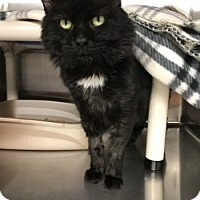Domestic Mediumhair Cat for adoption in Middletown, Connecticut - Nikos