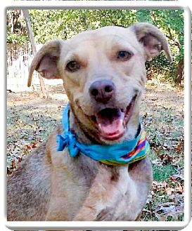 Whippet/Terrier (Unknown Type, Medium) Mix Dog for adoption in Sacramento, California - Bailey lovely girl, easy