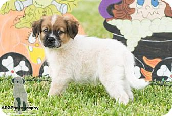 Terrier (Unknown Type, Small)/Pug Mix Puppy for adoption in Santa Fe, Texas - Orion