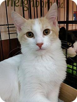 Domestic Shorthair Kitten for adoption in Little Falls, New Jersey - Carson (KV)
