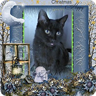 Domestic Shorthair Cat for adoption in Spring Brook, New York - Soffie