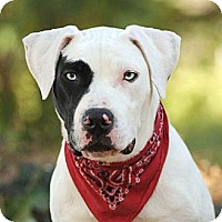 Adopt A Pet :: Thor - sweet big pup VIDEO! - Los Angeles, CA