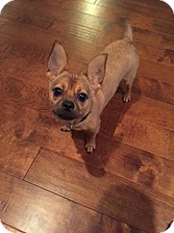 Chihuahua/Terrier (Unknown Type, Medium) Mix Puppy for adoption in Tampa, Florida - WESLEY (GS)