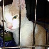 Adopt A Pet :: Socks - Mission Viejo, CA