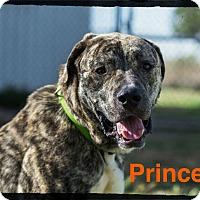 Adopt A Pet :: Prince - Old Saybrook, CT