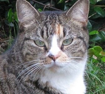 Domestic Shorthair Cat for adoption in Mobile, Alabama - Patches