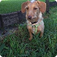 Dachshund Dog for adoption in Davie, Florida - Hashtag