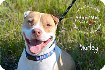 American Staffordshire Terrier/Shar Pei Mix Dog for adoption in Wymore, Nebraska - Marley