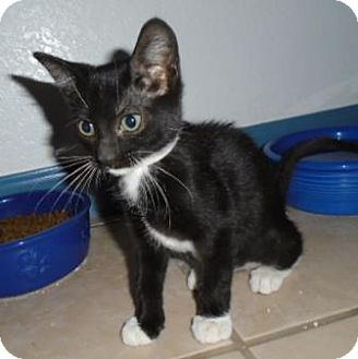 Domestic Shorthair Cat for adoption in Westminster, Colorado - Sansa