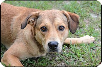 Labrador Retriever/Shepherd (Unknown Type) Mix Dog for adoption in Brick, New Jersey - Brownie