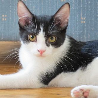 Domestic Shorthair Cat for adoption in Cumberland and Baltimore, Maryland - Kamilah