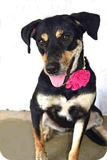 German Shepherd Dog Mix Dog for adoption in thibodaux, Louisiana - Joanie