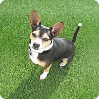 Adopt A Pet :: Dexter Finn - House Springs, MO