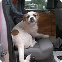 Adopt A Pet :: BamBam - Buchanan Dam, TX