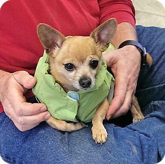 Chihuahua Dog for adoption in Fairfax, Virginia - Lola