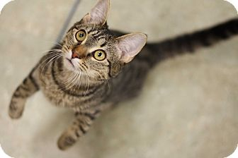 Domestic Shorthair Kitten for adoption in Verona, New Jersey - Lady Catelyn