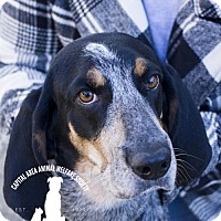 Bluetick Coonhound Dog for adoption in Baton Rouge, Louisiana - Loretta